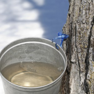 MAPLE TREE SAP FEATURED IMAGE